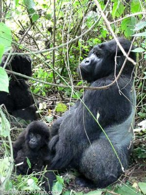 Gorillas at Virunga National Park, Congo
