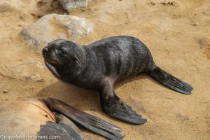 Namibia, baby seal at Cape Cross