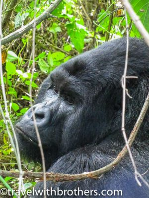 Silverback at Virunga National Park, Congo