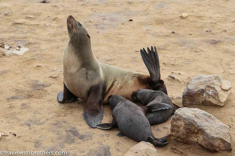 una famiglia di otarie di Cape Cross