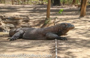 Komodo dragon at Komodo island, Indonesia