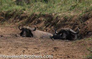Hluhluwe - Imfolozi Game reserve, Buffalos