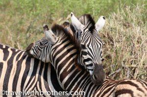 Hluhluwe - Imfolozi Game reserve, Zebras