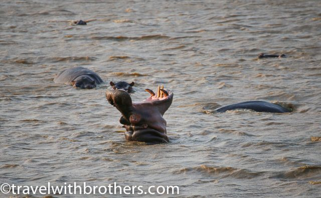 Hippos in the St. Lucia estuary, boat cruise