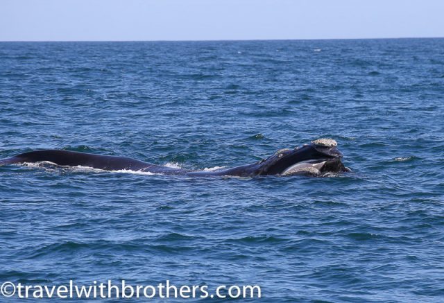 Southern Right Whale, Walker Bay