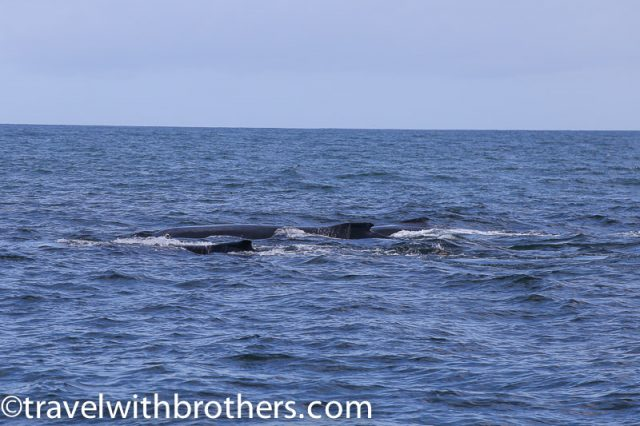 Humpback whales, Walker Bay