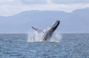 Whales watching, Sudafrica
