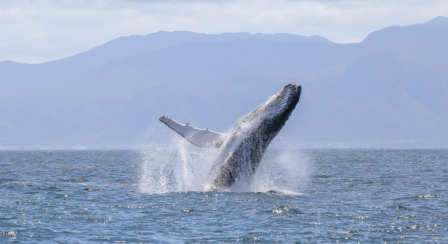 Humpback whale, Walker Bay
