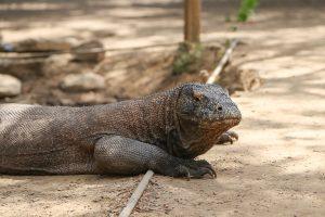 Komodo national park, Komodo dragon