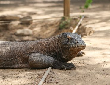 Komodo national park, Komodo dragon