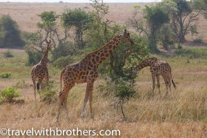 Giraffes at Murchison National Park, Uganda