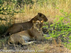 Lions at Murchison National Park, Uganda
