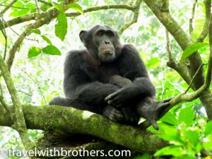 Budongo Forest, Uganda