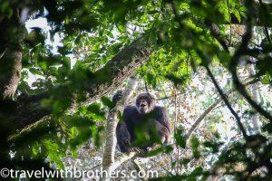 Kalinzu Forest, Uganda