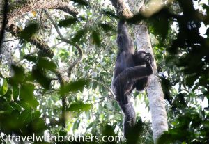 Chimps at Kalinzu Forest, Uganda