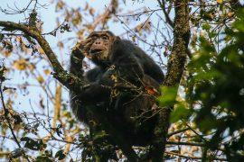 Uganda, Chimpanzee