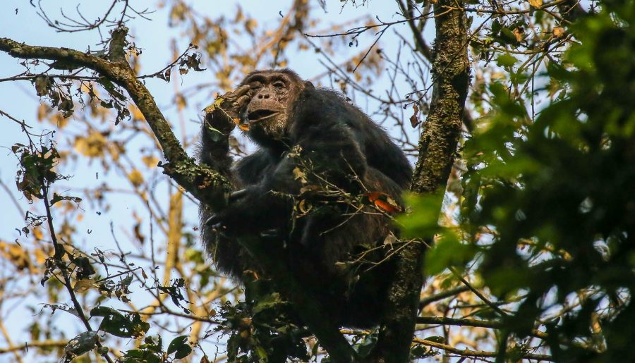 Uganda: where to meet the Chimpanzees