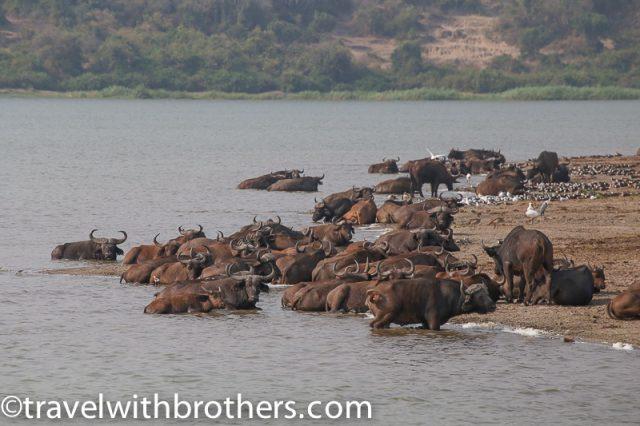 Queen Elizabeth National Park, Buffalos along the Kazinga Channel