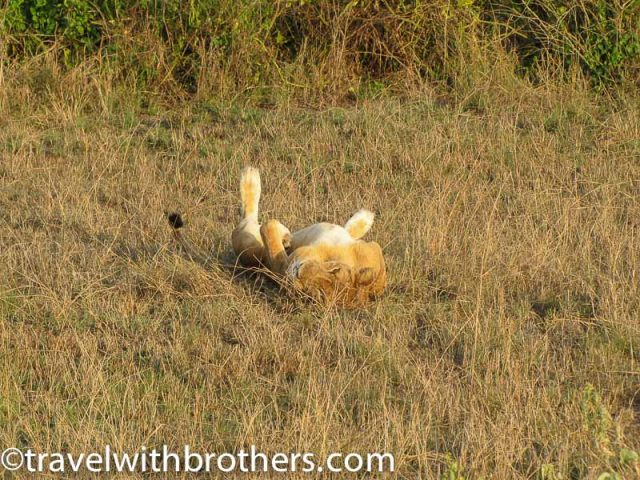 Queen Elizabeth National Park, a lion in the Mweya sector