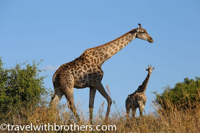 Giraffes during a game drive at Chobe National Park, Botswana