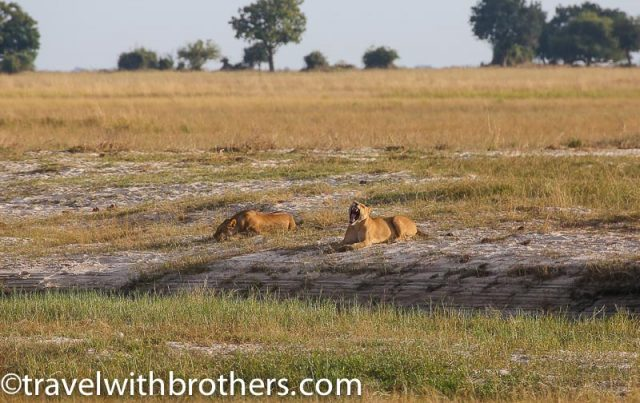 Lions resting under the sun at Chobe National Park, Botswana
