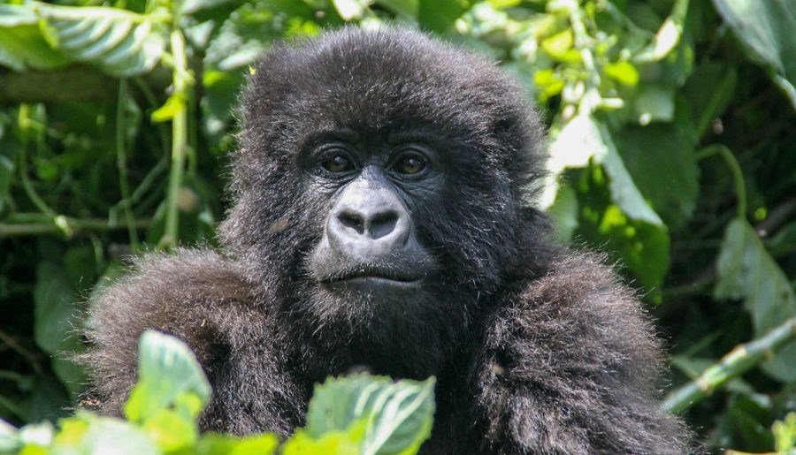 R.D. del Congo, sulle tracce dei gorilla di montagna