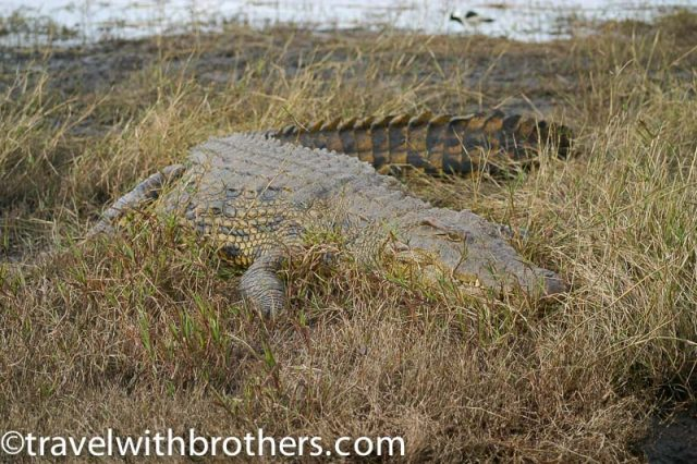 Nile Crocodile resting in the wet grass, Chobe National Park