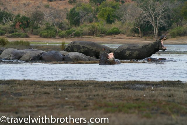 Hippos bathing in Chobe River, Botswana