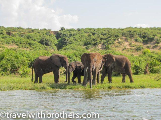 Queen Elizabeth National Park, elephants along the Kazinga channel