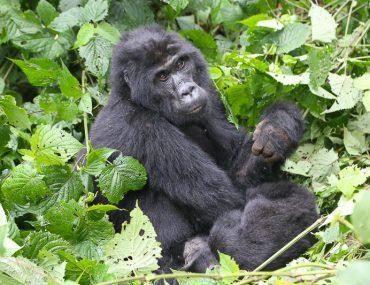 silverback in the forest uganda
