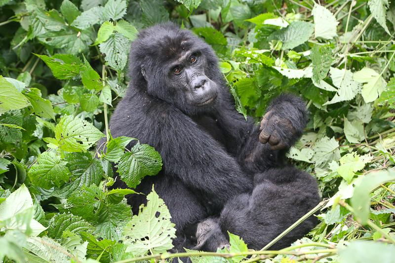 silverback in the forest, uganda