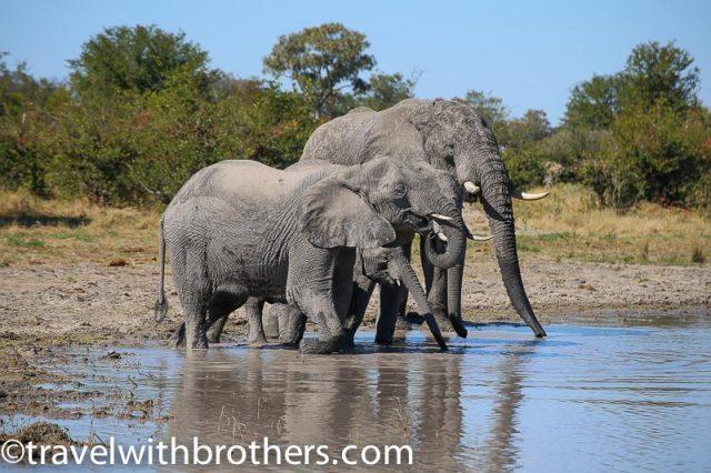 Elephants splashing in a pool at Moremi Reserve, Botswana