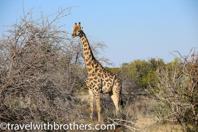 Etosha National Park, a lonely giraffe