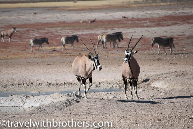 Etosha National Park, Oryx next to a waterhole