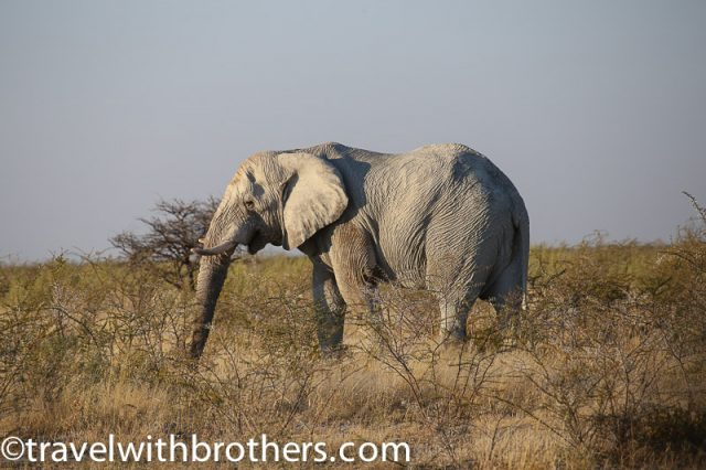 Etosha National Park, a big and lonely elephant