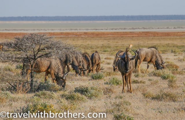 Etosha National Park, a small herd of Gnu