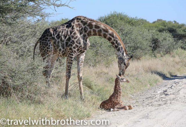 Mum Giraffe and her baby at Moremi Reserve, Botswana