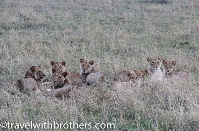 Serengeti National Park, lions' family resting in the grass