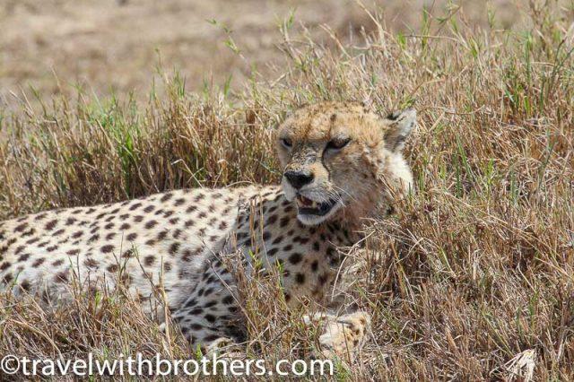 Tanzania, a cheetah in Ngorongoro