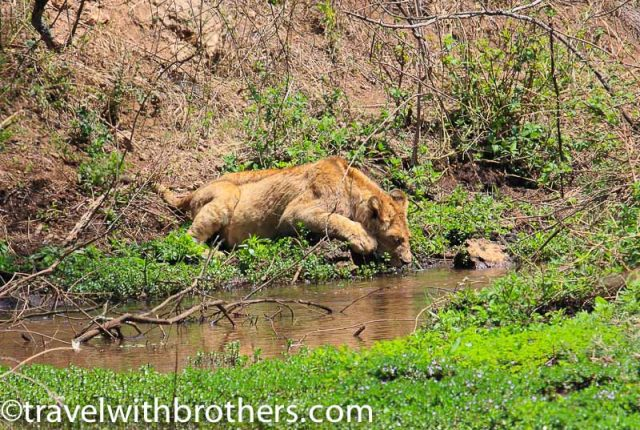 Tanzania, a lion drinking in a swamp in Ngorongoro