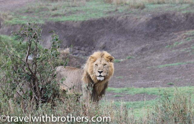 Serengeti National Park, a beautiful lion