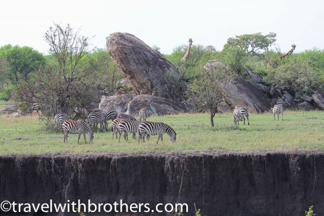 Serengeti National Park, Kopjes by zebras and giraffes