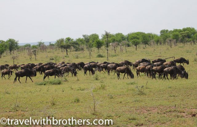 Serengeti National Park, open grassland with a herd of gnu
