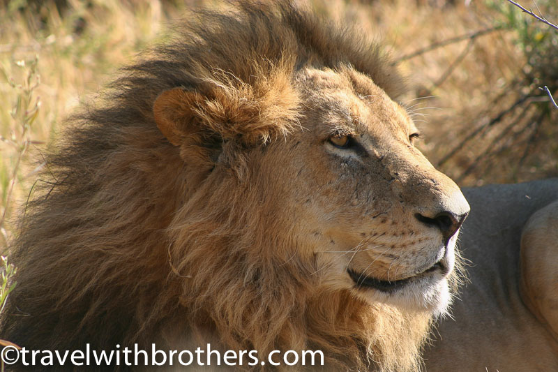 un bellissimo esemplare di leone