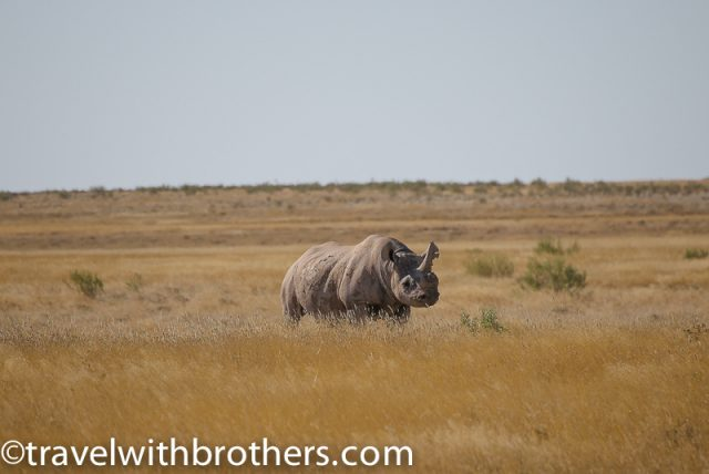 Etoshan National Park, a big white rhino