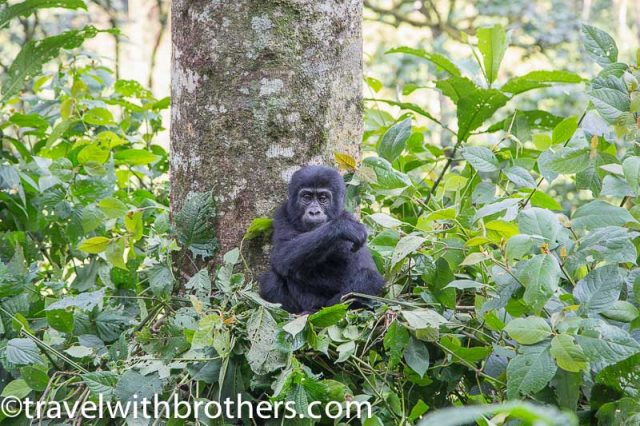 Bwindi Impenetrable Forest, baby mountain gorilla