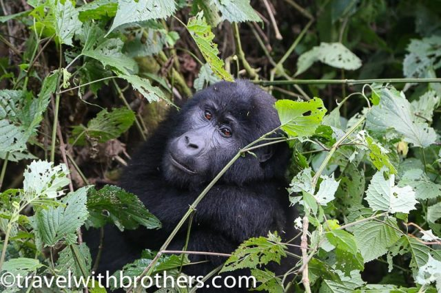 Mountain gorilla at Bwindi Impenetrable Forest National Park