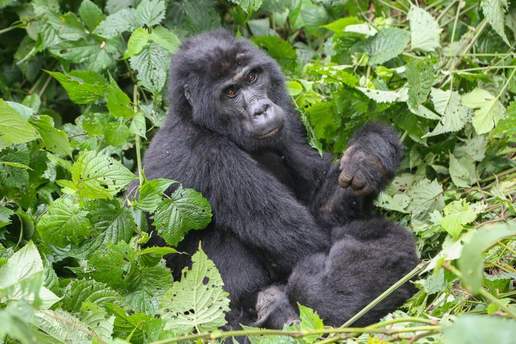 Uganda, Bwindi Impenetrable Forest