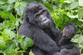 Uganda, Bwindi Impenetrable Forest