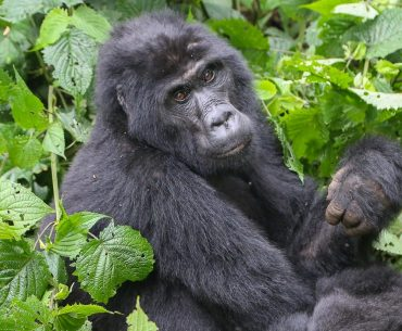 Uganda, mountain gorillas tracking at Bwindi Impenetrable Forest